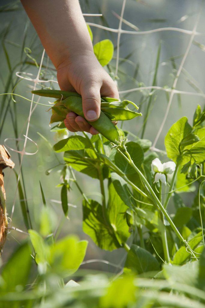 Hülsenfrüchte können auch als Gründüngung verwendet werden