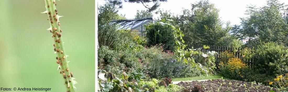 Blattläuse und Garten