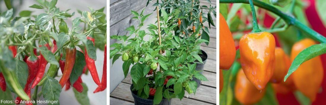 verschiedene Chilipflanzen