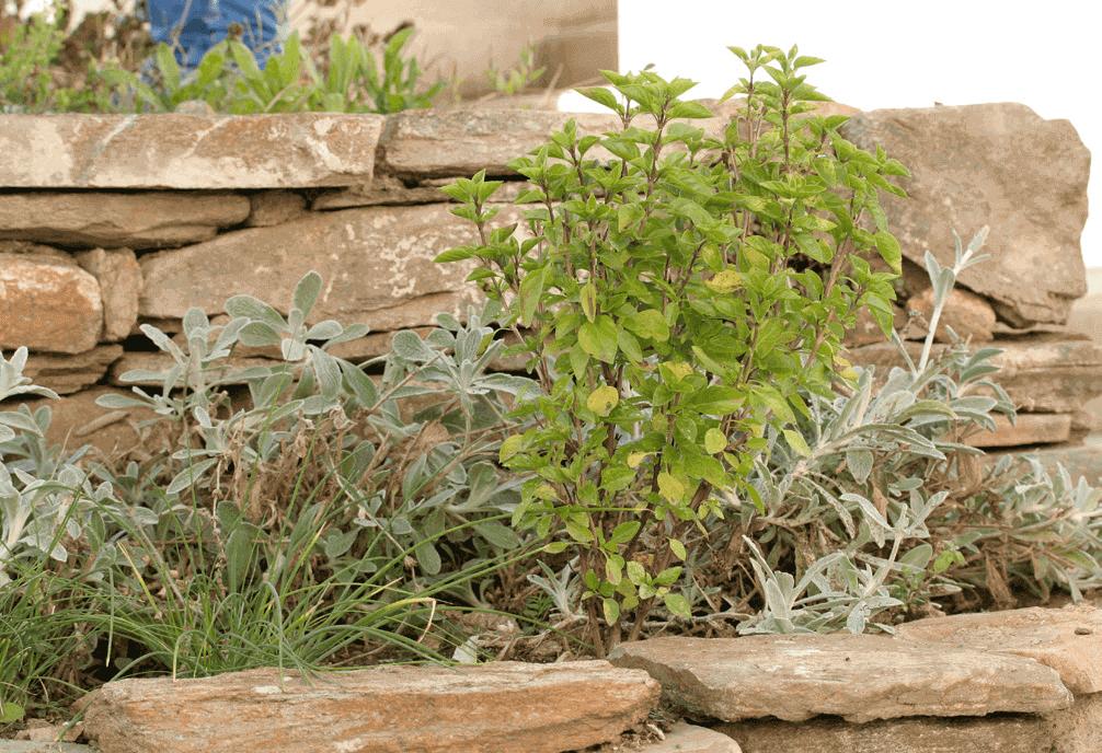 Basilikum mit anderen Pflanzen im Steinbeet