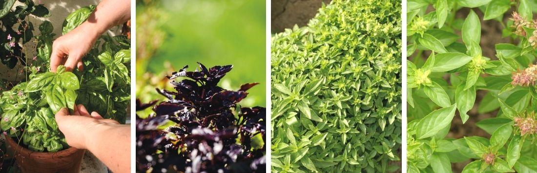 vier verschiedene Arten von Basilikum