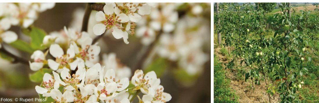 Obstbaumblüten und Äpfel am Baum