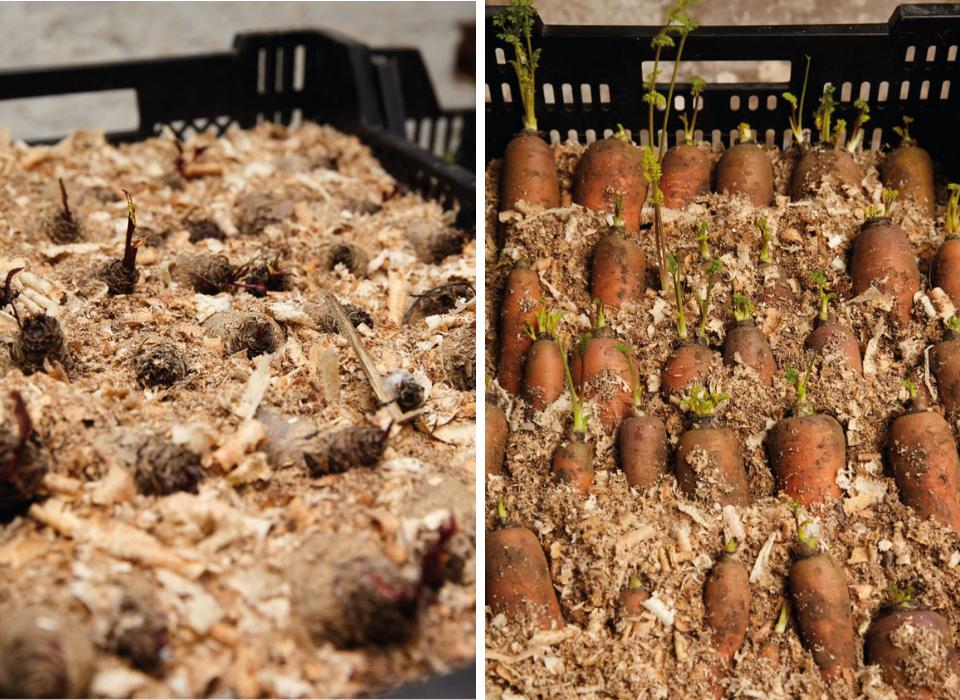 In Sand lagern: Rüben und Karotten