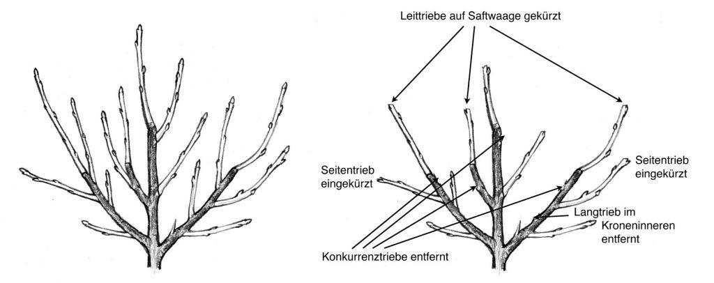 Grafik Erziehungsschnitt junge Obstbäume schneiden