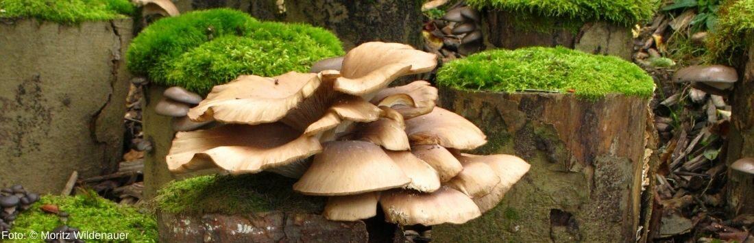 Pilze auf Baumstämmen im Wald