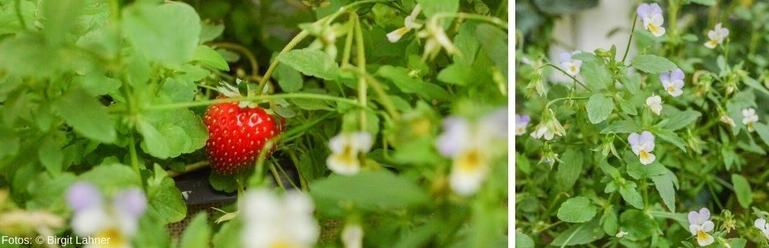Erdbeerpflanzen und Veilchen