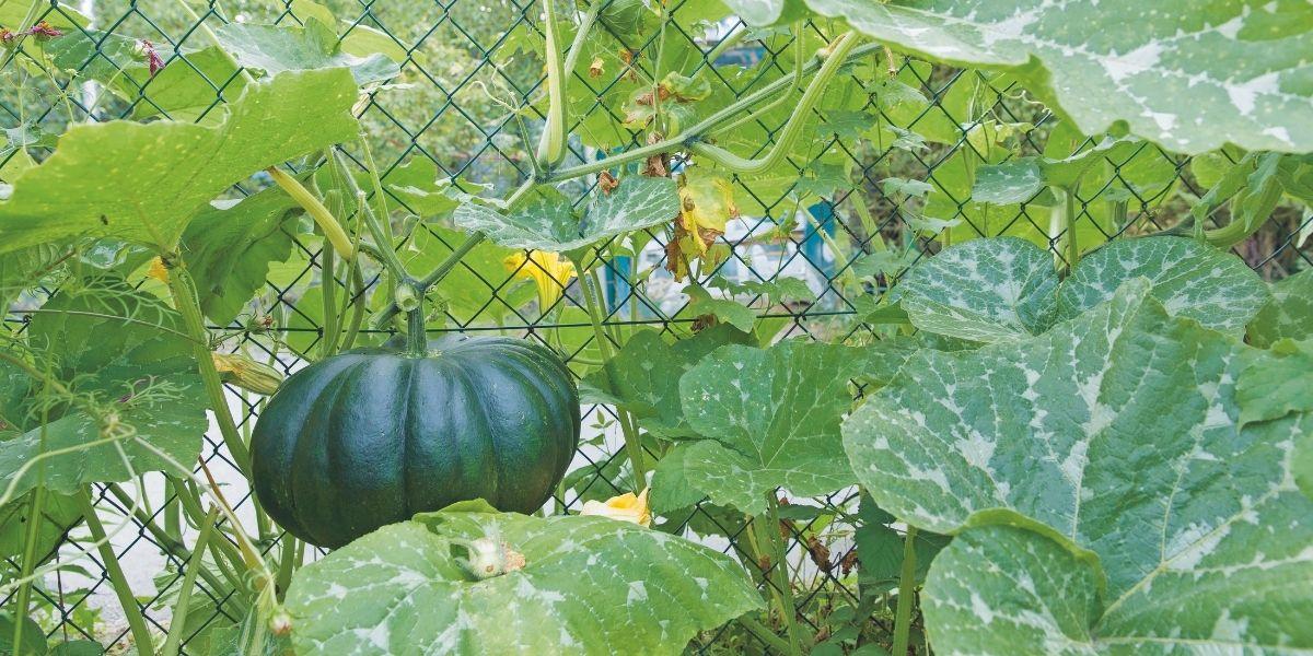 Grüner Kürbis an einer Kürbispflanze
