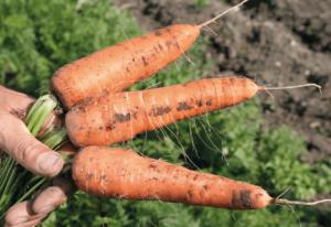 Mit Karotten Selbstversorger werden