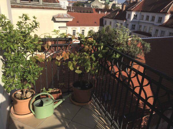 Du musst keinen Weinberg besitzen – Weinstöcke wachsen auch im Topf auf dem Balkon! Foto: Rolf Göder