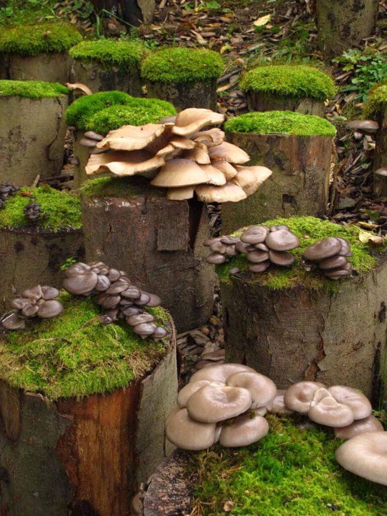 Austernpilze selber züchten