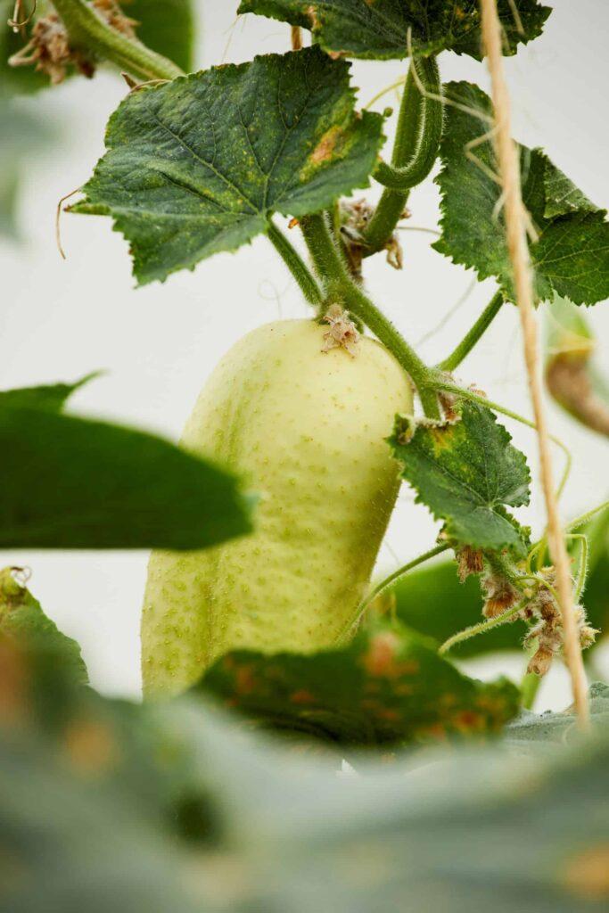 Gurke als Balkongemüse