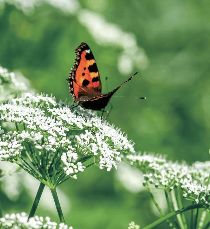 Blühender Giersch mit Schmetterling