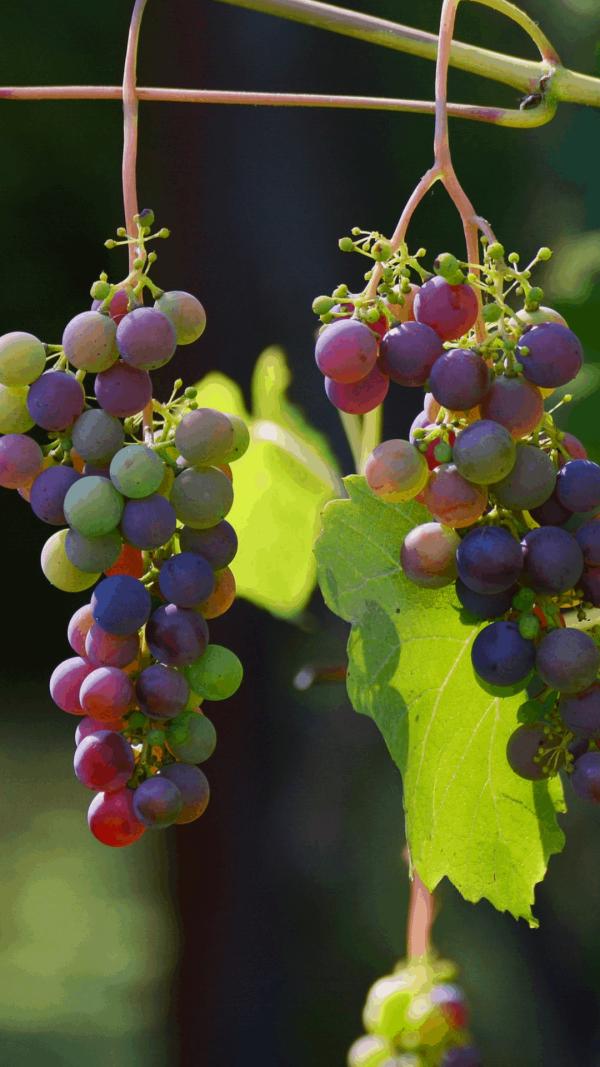 Welche Arbeiten fallen im Spätsommer bei Weinstöcken an? Wann ist Zeit für die Weinlese? Diese und weitere Infos erhältst du im Kurs von der Bio-Winzerin Sonja Schmid! Foto: Pixabay