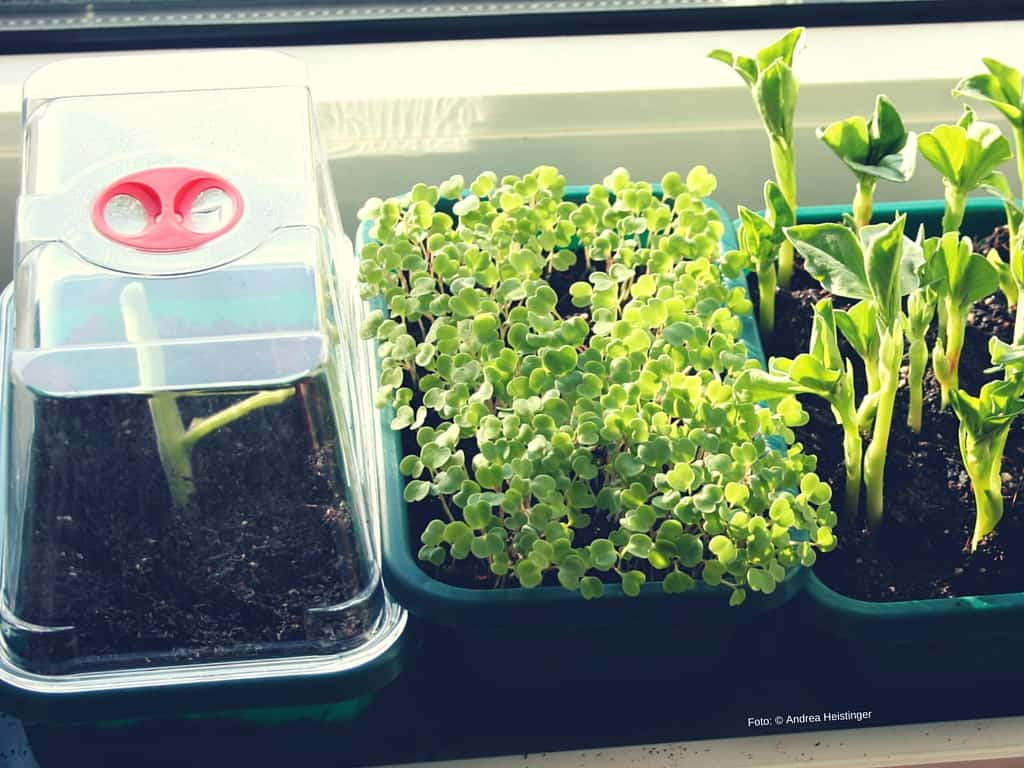 Geheimtipp: Eine seltene heimische Wildpflanze, die auch am Balkon prächtig gedeiht und perfekt für grüne Smoothies geeigtet ist: Knotenblütiger Sellerie.