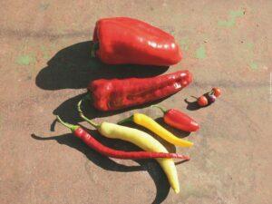 Chili und Paprika vorziehen Foto- © Andrea Heistinger