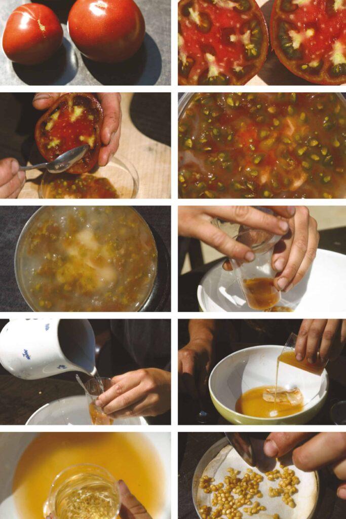 Gewinnung von Tomatensamen