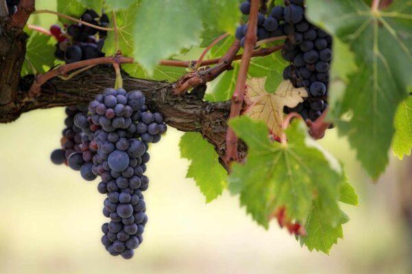 Diese Trauben können zu köstlichem Wein werden. Wie es funktioniert, erfährst du von der Bio-Winzerin Sonja Schmid! Foto: Pixabay