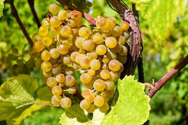 Wann sind die Trauben reif für die Ernte? Sonja Schmid gibt euch Tipps für die Weinlese. Foto: Pixabay