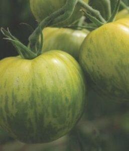 grün-gelbe Tomate
