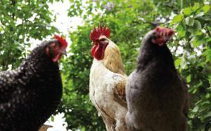 Hühner Selbstversorger werden