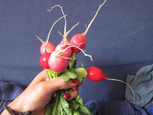 Was gibt es besseres als Radieschen aus dem eigenen Garten? Foto: Sigrid Drage