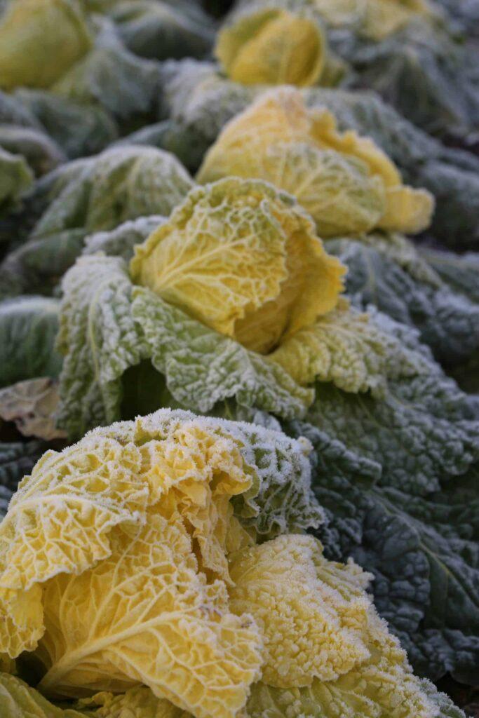 Erst durch Kälte und Frost verwandeln sich die hellgrünen Blätter des Butterkohls in leuchtend gelbe Augenweiden im eigenen Garten. Foto: © Johannes Hloch