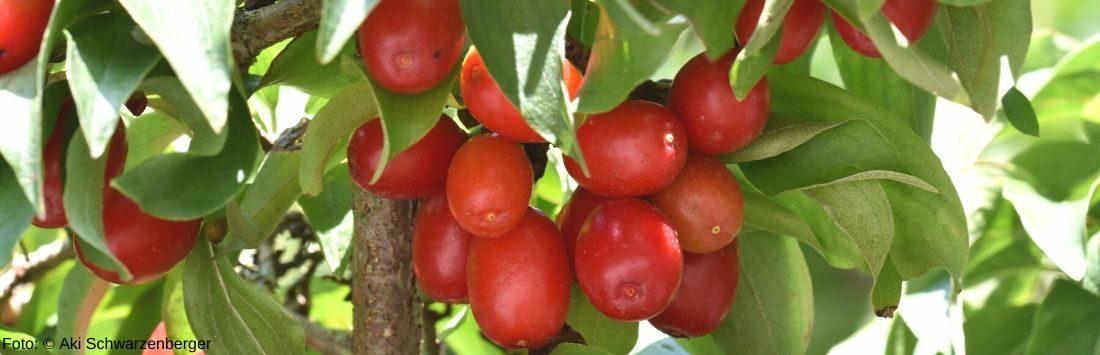 reife Kornelkirschen am Baum