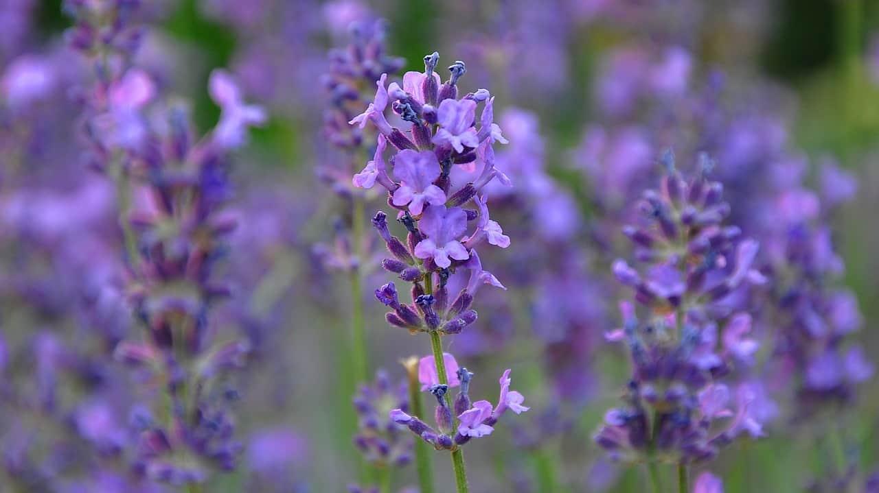 lavender-810522_1280