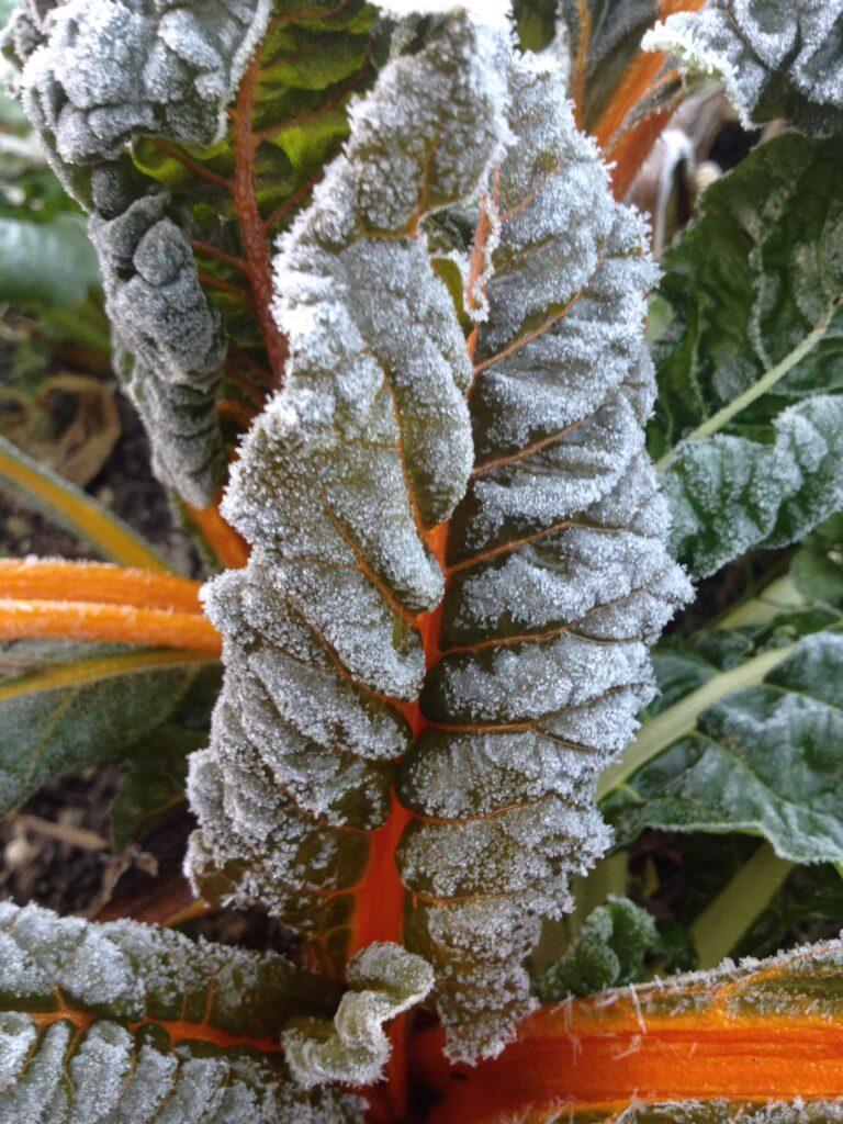Die bunten Blätter des Mangolds zaubern Farbe in deinen winterlichen Garten! Foto: © Wolfgang Palme
