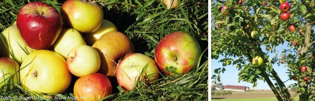 Apfelbaum und Äpfel in der Wiese