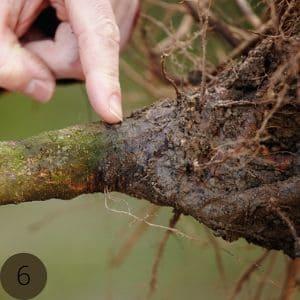 Veredelungsstelle des Obstbaumes