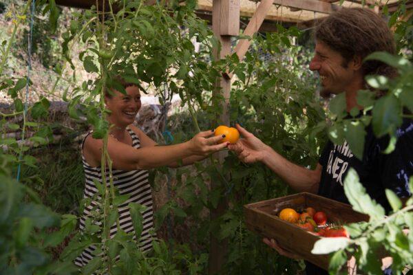 Sigrid Drage und Andreas Voglgruber haben schon viele Tomaten geerntet und geteilt – wann der richtige Zeitpunkt für die Ernte ist, verraten sie dir. Foto: Nadja Hudovernik