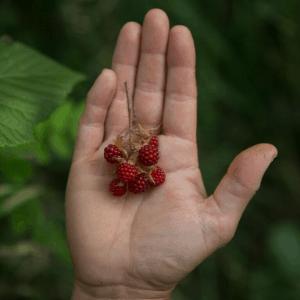 früchte ernten