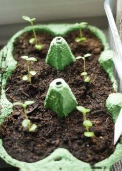 Jungpflanzen in einem Eierkarton