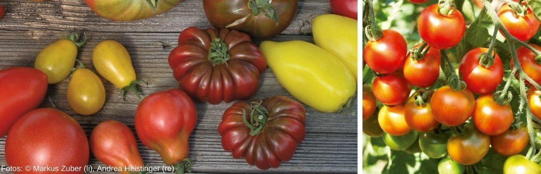Tomaten am Tisch und an der Pflanze