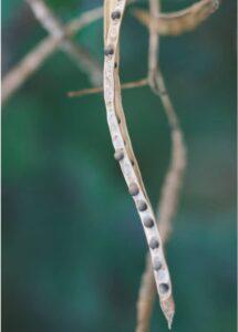 Voll ausgereifte Samen