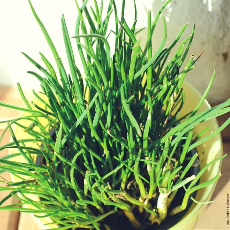 Tipp für euren Kräutergarten: Schnittlauchstöcke aus dem Garten können bereits ab März getopft und indoor am Fensterbrett getrieben werden.