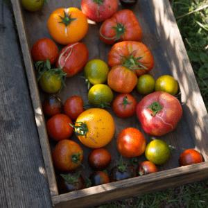 Tomaten, Ernte, Permakultur