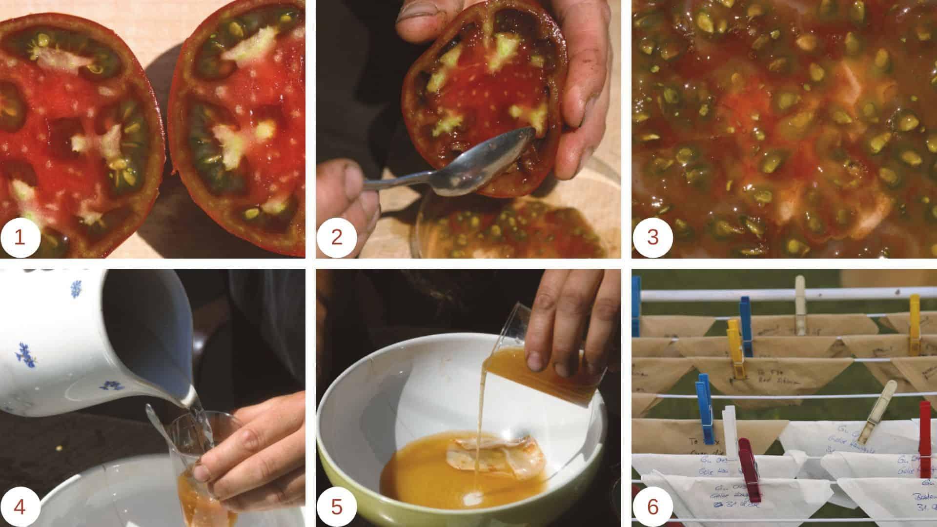 tomatensamen gewinnen anleitung