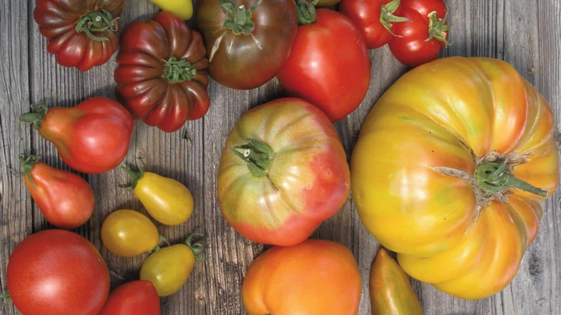 aus samenfesten Sorten tomatensamen gewinnen