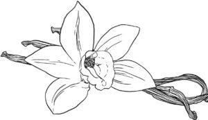 Herrlicher Duft von Vanille