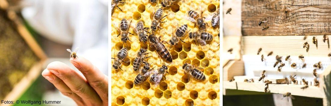 Bienen im Flug, auf einer Wabe und am Finger