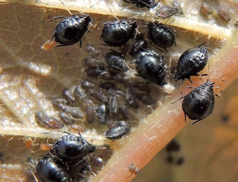 schwarze Blattläuse und Jungtiere
