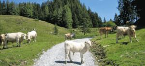 Kühe auf dem Almweg