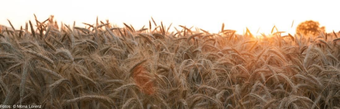 Die Ähren wiegen sich im Getreidefeld