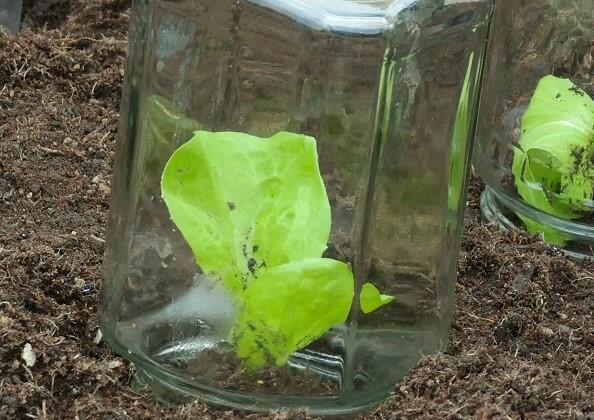 Gurkenglas als Schutz für Jungpflanzen