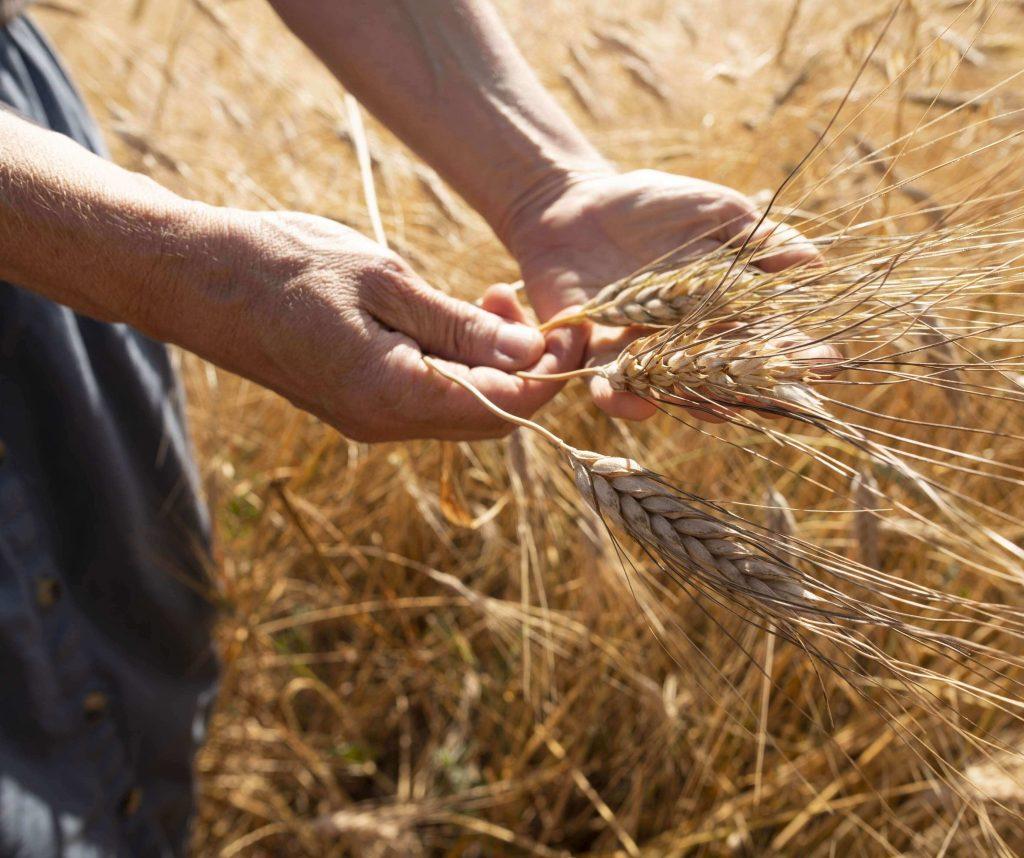 Im Getreidefeld: Hier kommt das beste Korn