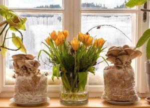 Pilze auf der Fensterbank