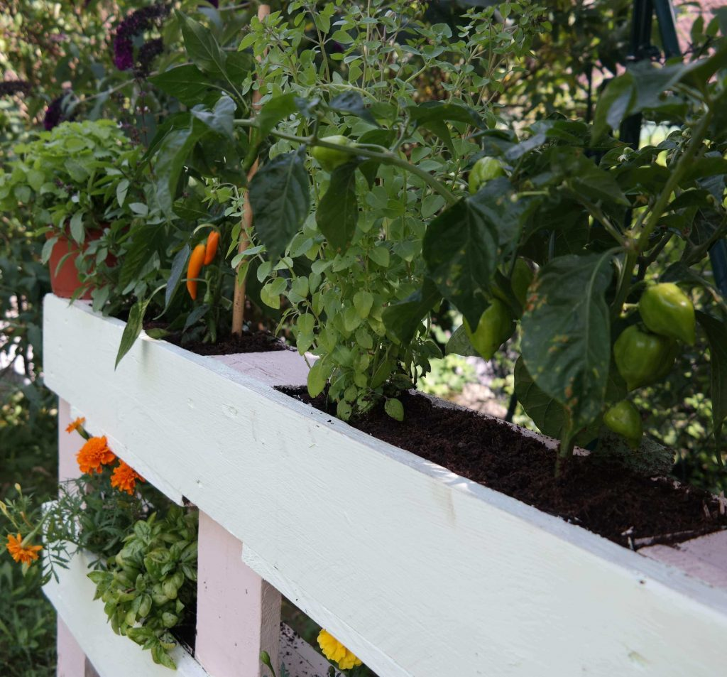 Gemüse angepflanzt in Palettenbeeten