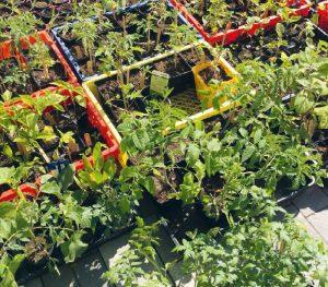 Kisten mit unterschiedlichen Jungpflanzen für das Market Gardening